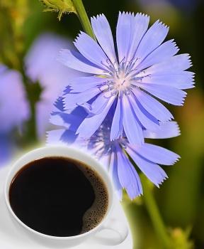 ČEKANKOVÁ KÁVA 50 g čekanka, čekankový kořen, čekanková káva, játra, žlučník, bolesti, protijed, chuť k jídlu, cukrovka