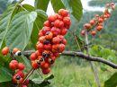 GUARANA 100 kapslí 50 g kofein,energie,paulínie,káva,únava,hubnutí,metabolismus